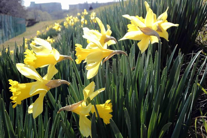 堤防のラッパスイセン,Seven Golden Daffodils♪~