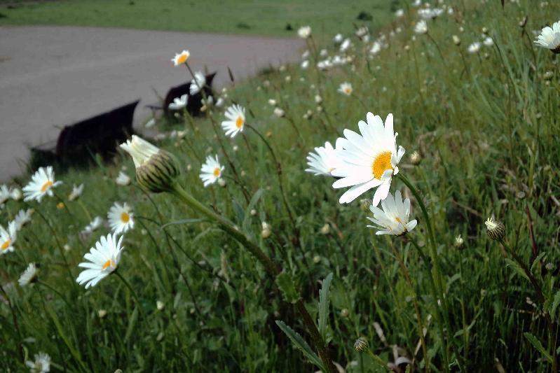 堤防の法面で咲くシャスタデージー