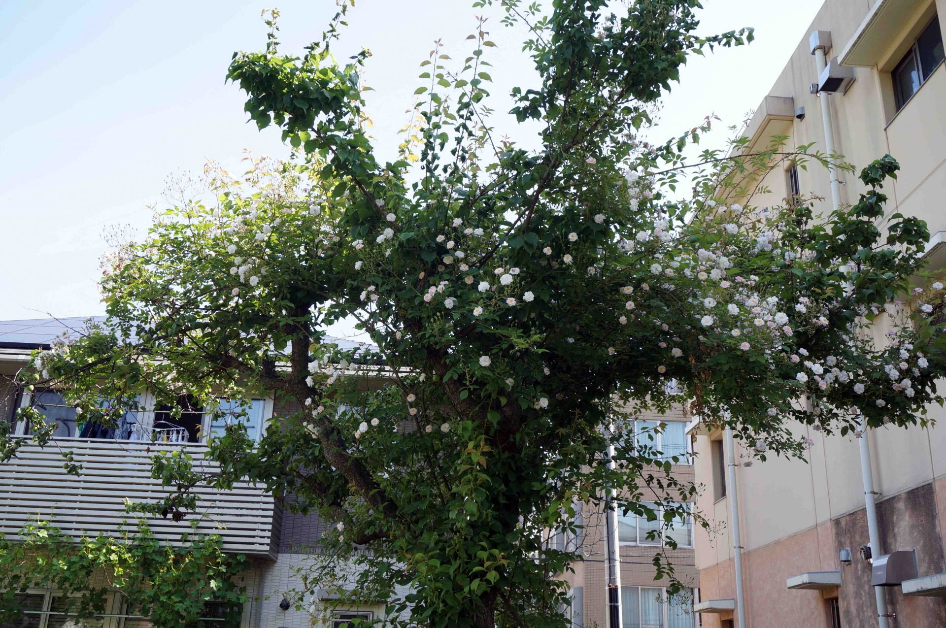 ウメの木に絡ませた R.  ウメの木に絡ませた R. ポールズ・ヒマラヤン・ムスク・ランブラー,2016年5月29日