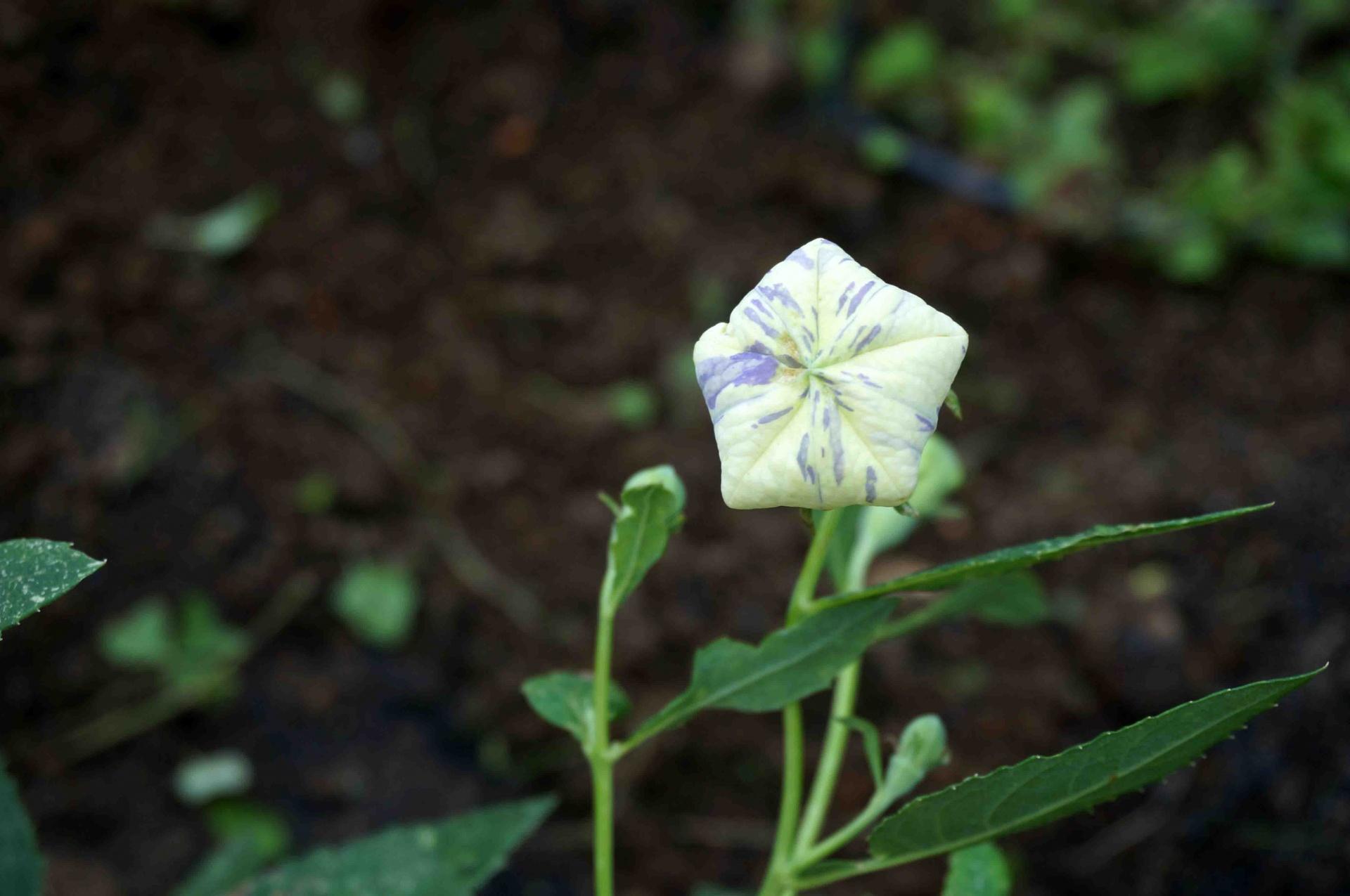 地植えにした絞り咲きアポイキキョウ,20160626