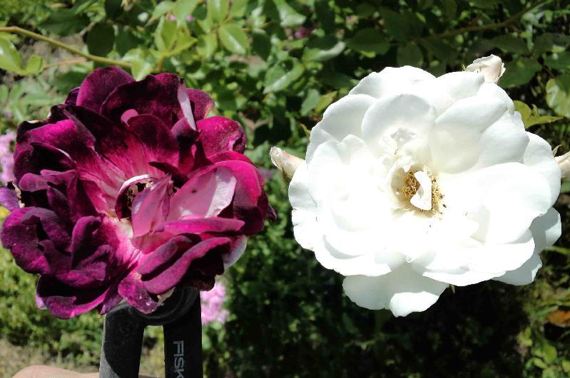 *バーガンディ・アイスバーグ,*アイスバーグ,20160529 *F. バーガンディ・アイスバーグ(摘んだ花),*F. アイスバーグ
