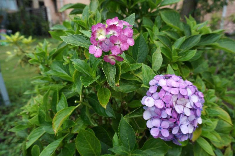 *ヤマトアジサイ 古代紫