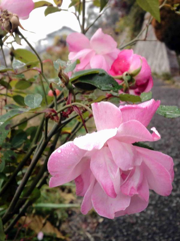 通勤路のピンクの薔薇