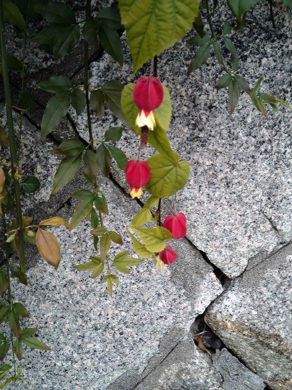 通勤路で咲き続けているアブチロン