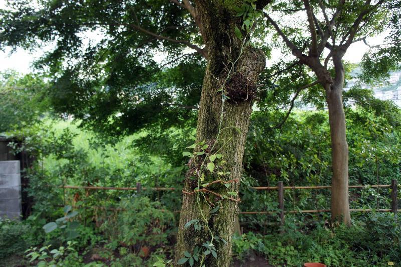 ウメの木に絡ませた R. ポールズ・ヒマラヤン・ムスク・ランブラー,2010年7月30日