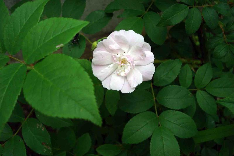 ポールズ・ヒマラヤン・ムスク・ランブラー,2010年6月18日,ひよっとして花の左に写っているのカミキリムシ;;;