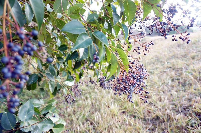 お隣の紫の木の実のなるトウネズミモチ