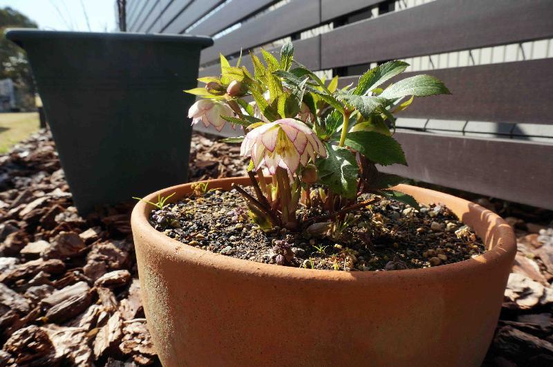 Helleborus x h. D. フローレンス・ピコティー