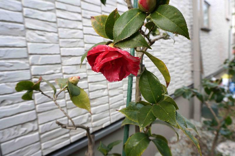 ツバキ 菊冬至,2017年3月26日