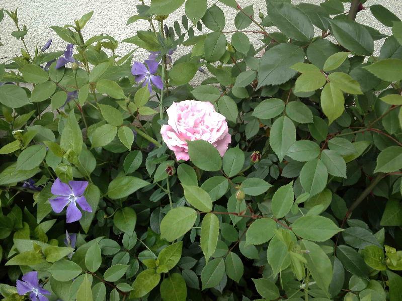 職場のツルビンカの花壇の薔薇,2017年4月20日