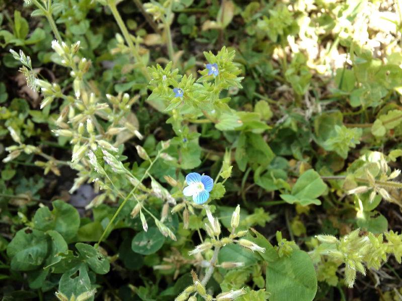 タチイヌノフグリ(上のちいさい花),オオイヌノフグリ(下の大きい花),2017年4月22日