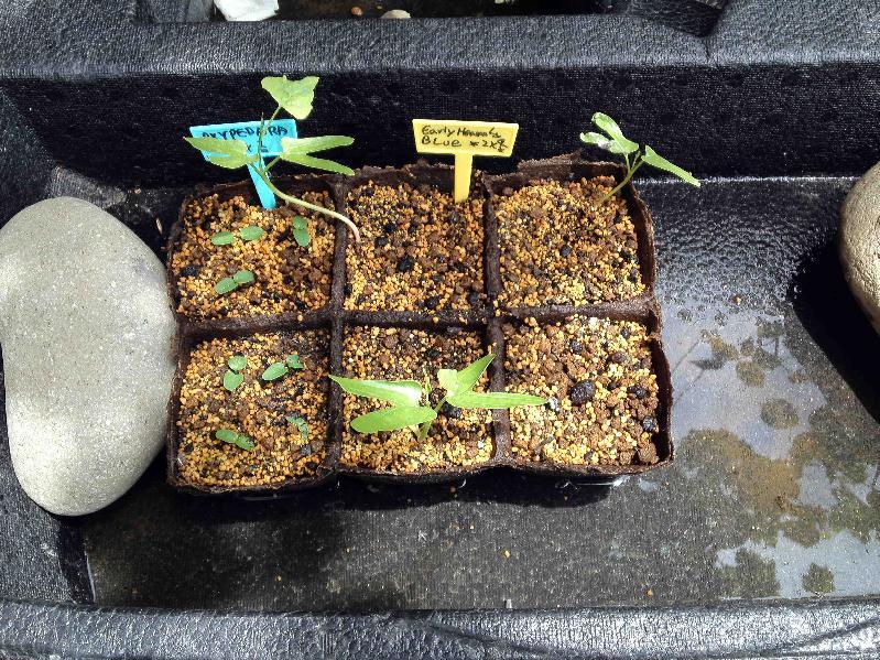 種蒔きしたオキシペダラと西洋アサガオ アーリー・ヘブンリーブルー,2017年6月18日
