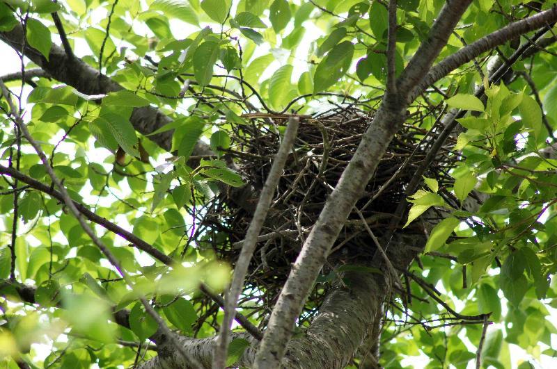 サクラの木にあったカラスの巣,2011年6月12日