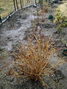 年末に植え替えたヤマトアジサイ古代紫,2017年1月4日