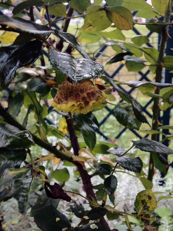 ER ベンジャミンブリテンの蜂の巣,2017年8月13日