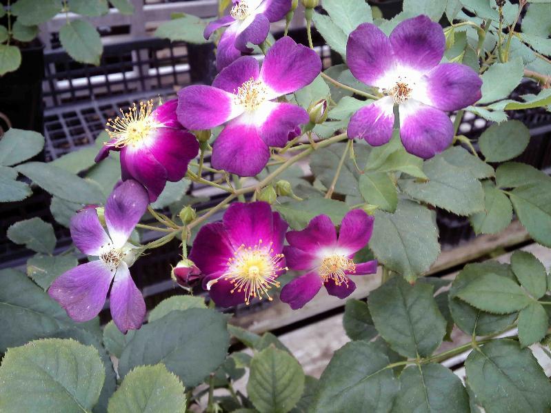ガーデンセンターで咲いていた紫の一重の薔薇
