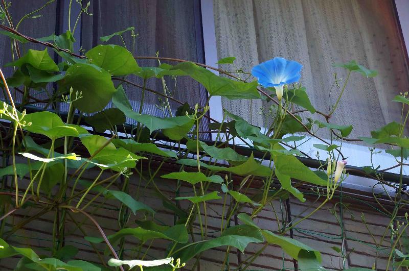 西洋アサガオ ヘブンリーブルーの開花,2017年9月3日