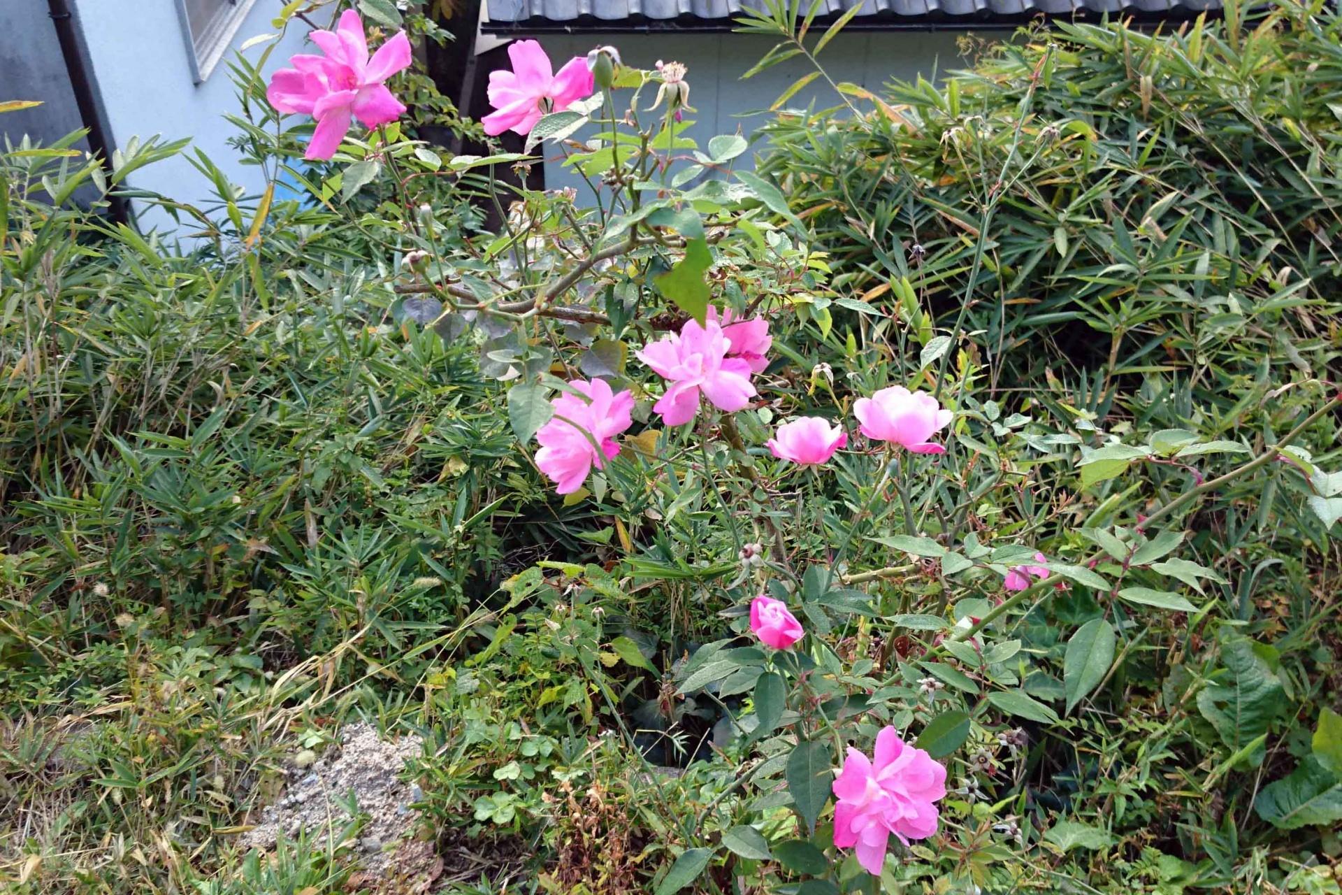 野生化した四季咲きの薔薇