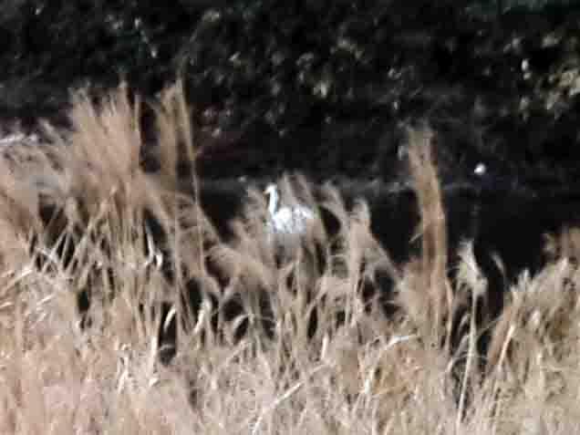 オオハクチョウ,広瀬川,2017年12月10日