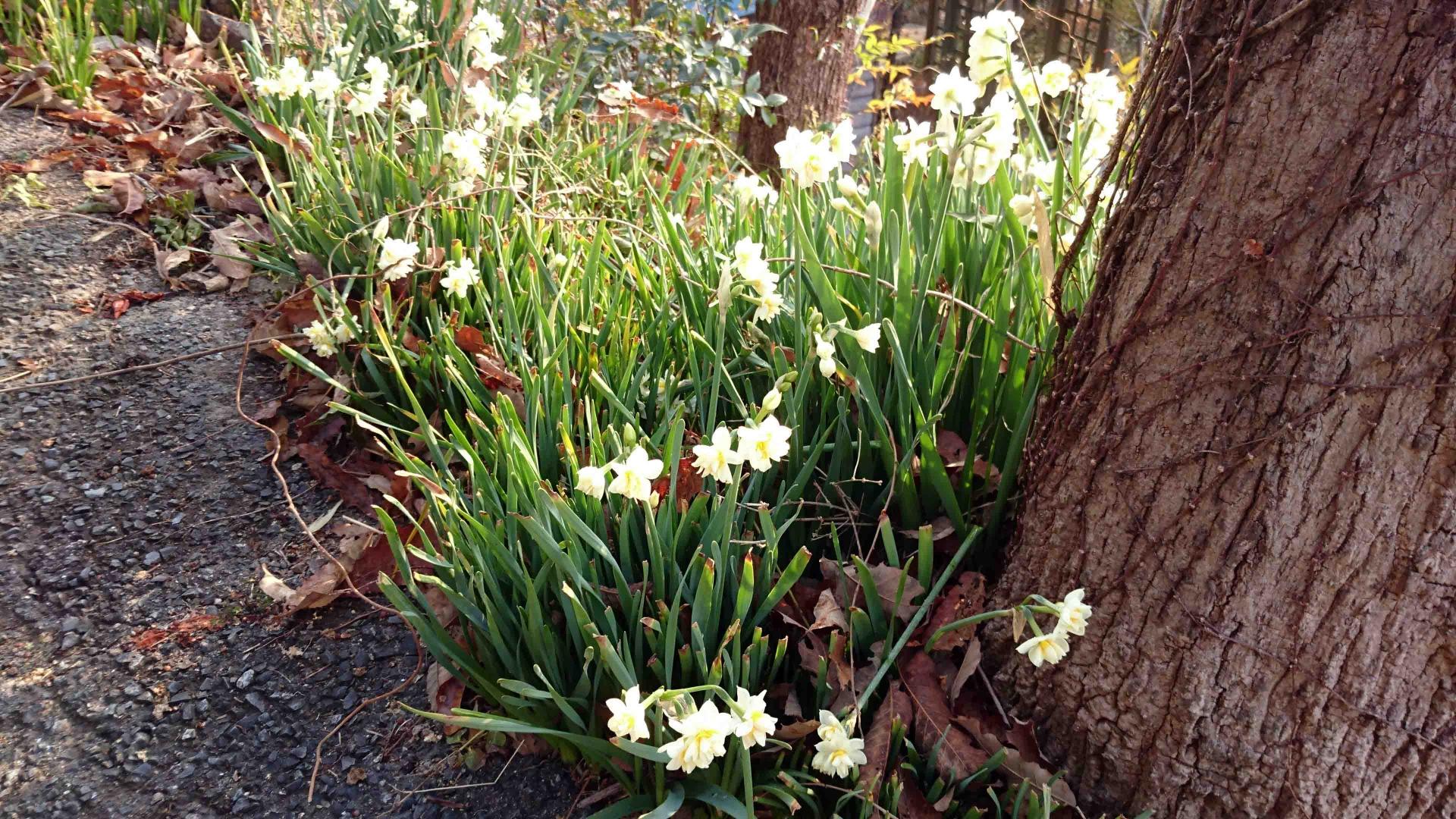 白い副花冠の房咲き水仙