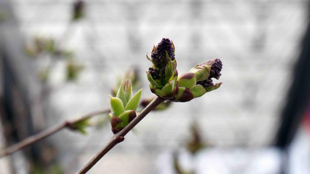 ライラックの花芽,2018年4月1日