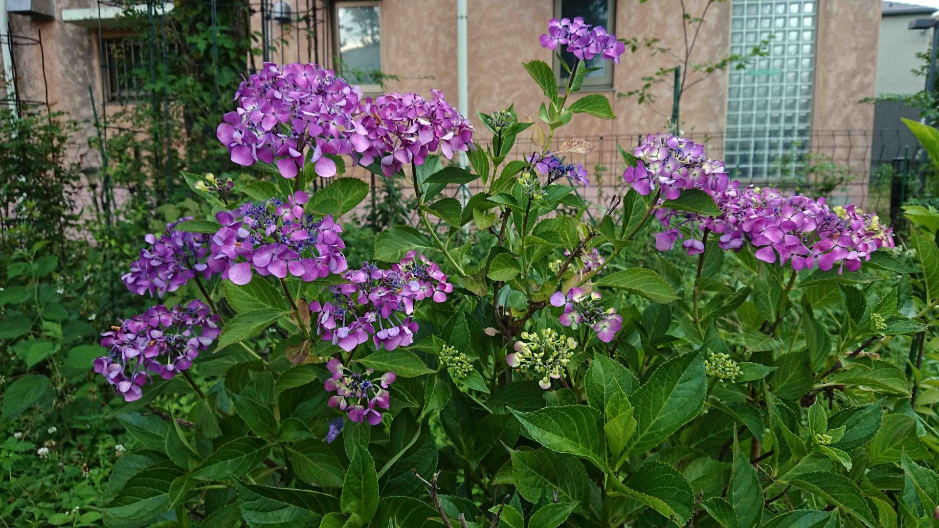 ヤマトアジサイ・古代紫