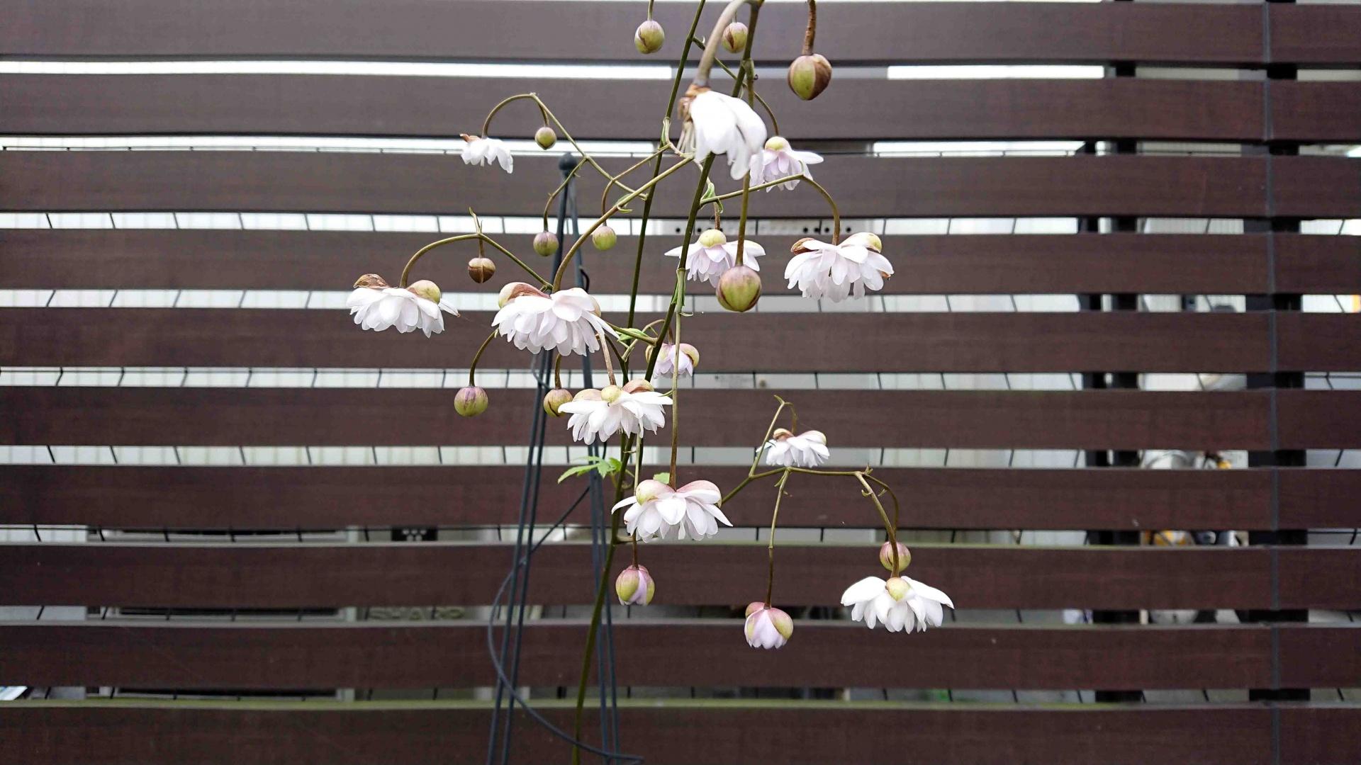 八重咲きレンゲショウマ,2019年9月1日