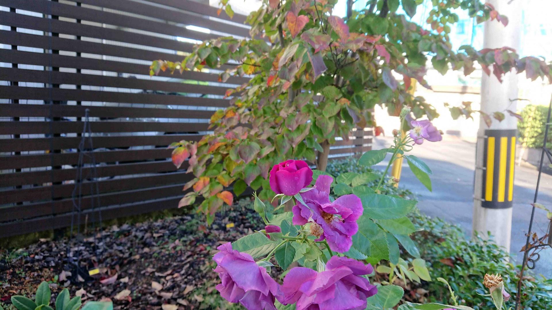 S. ラプソディーインブルーとヤマボウシの紅葉,2019年10月26日
