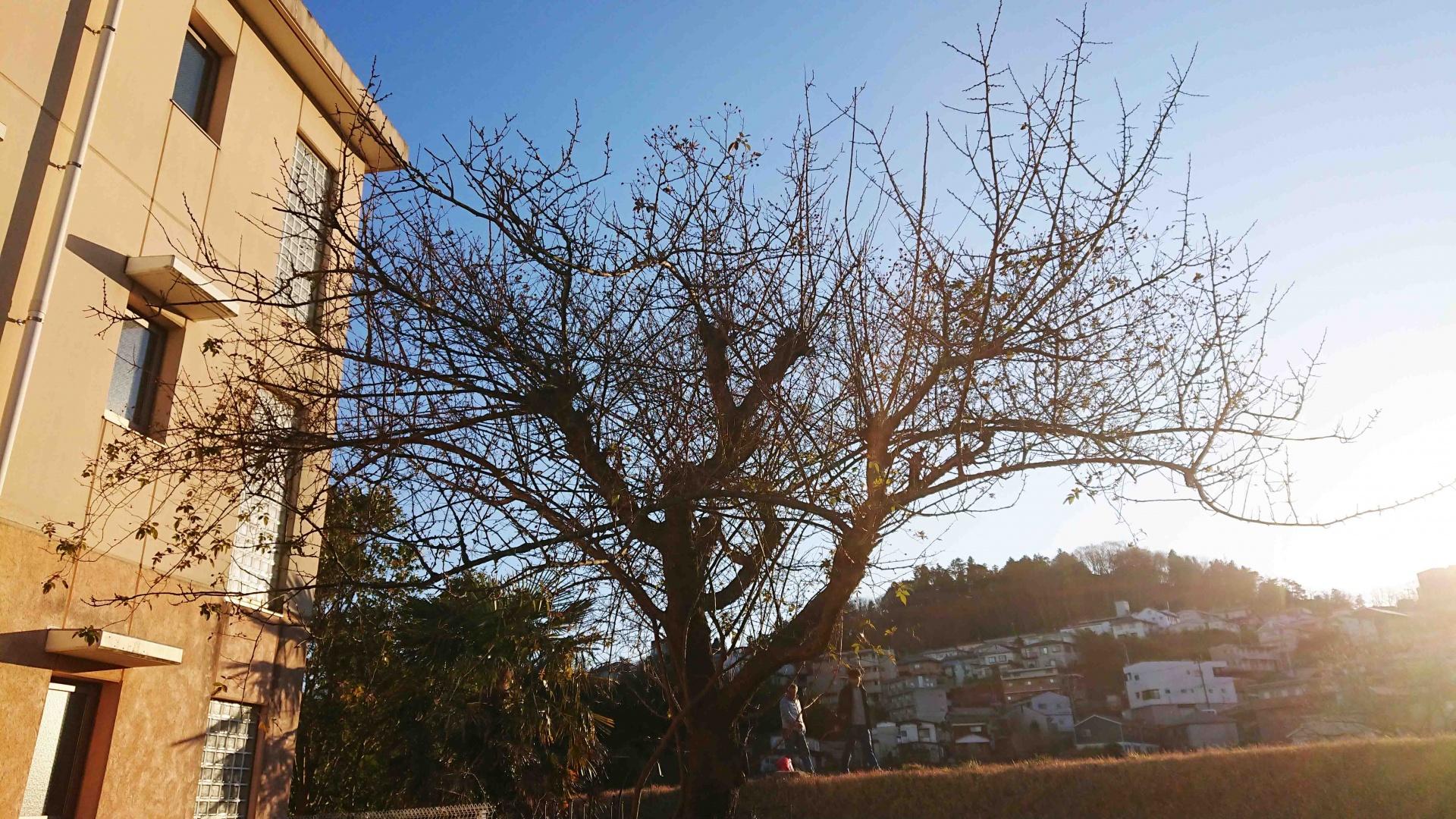 梅の木の剪定前,2020年1月2日