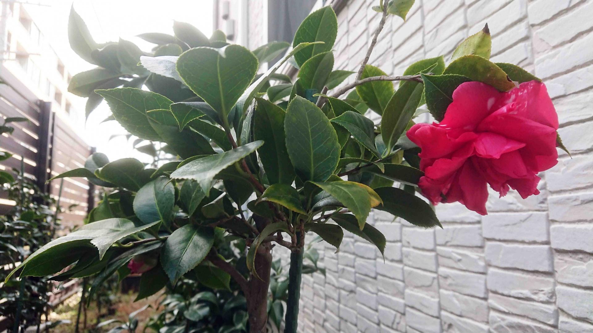 ツバキ菊冬至,2020年3月20日