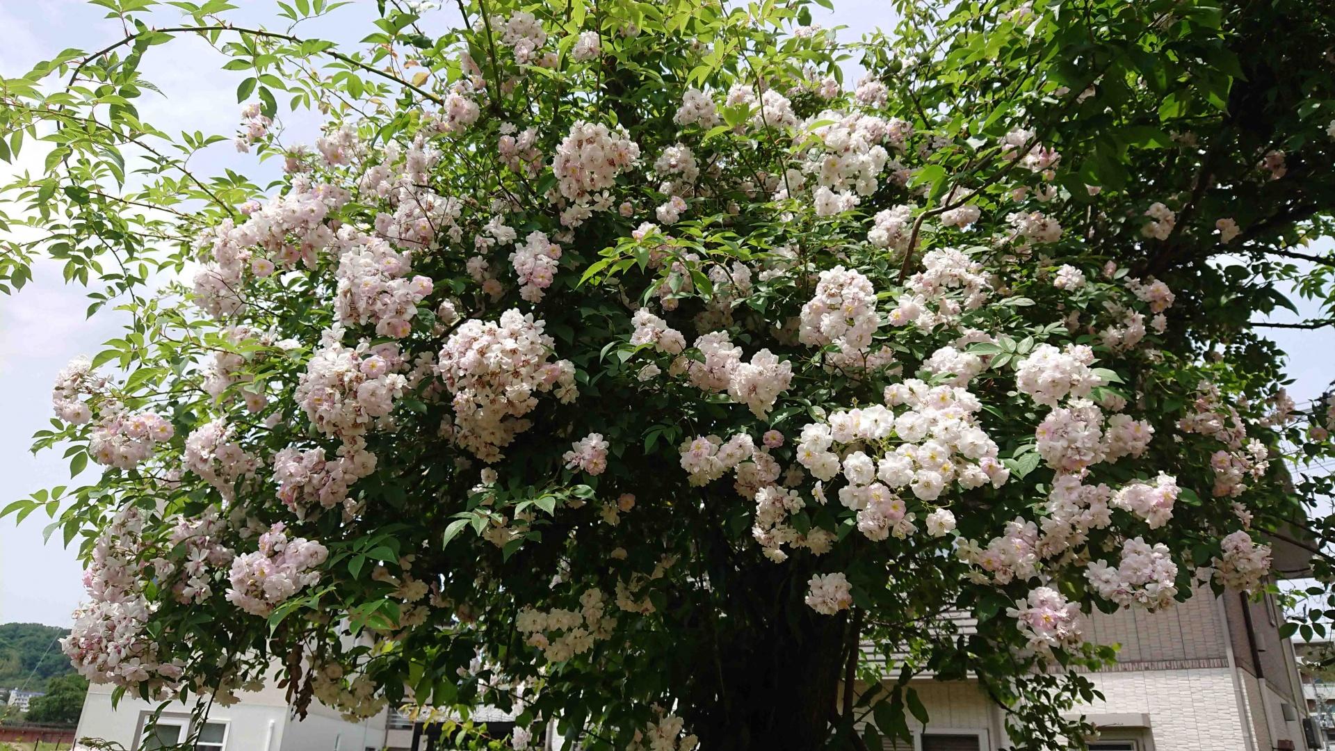 梅の木に沿わせた R. ポールズヒマラヤンムスクラン