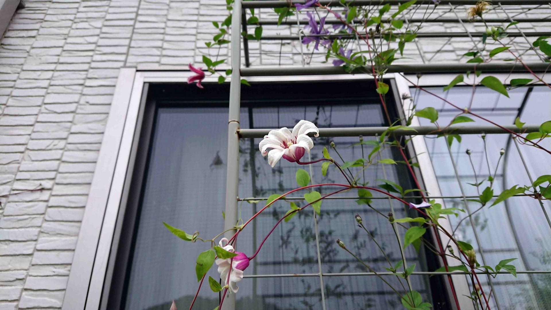 ハーフアーチ天辺まで咲き上がったクレマチスTx プリンセス・ダイアナとIF 流星,開花中のTx プリンセス・ケイト,2020年7月5日