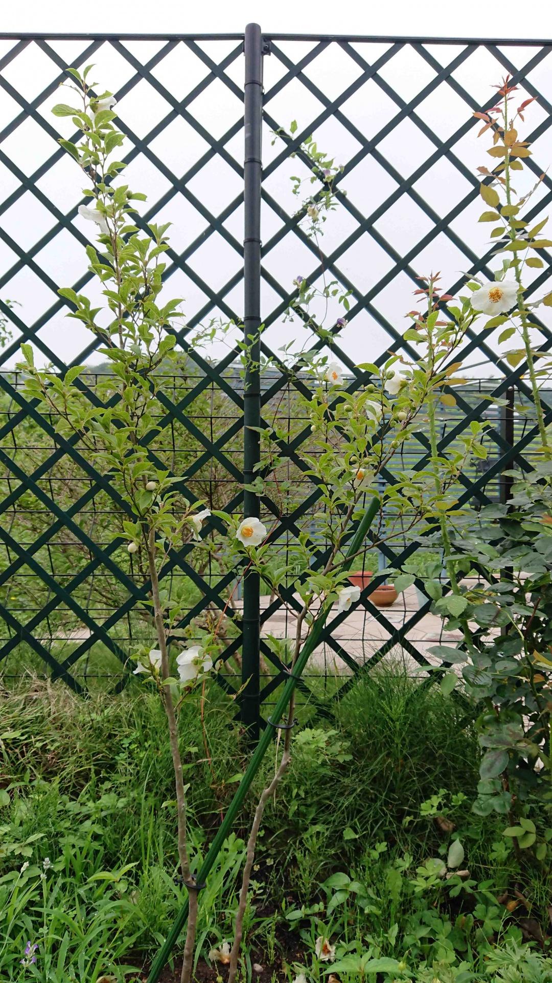ラッティスで咲くクレマチスVi 会津の風と夏椿 ホワイトチルドレン,2020年7月5日