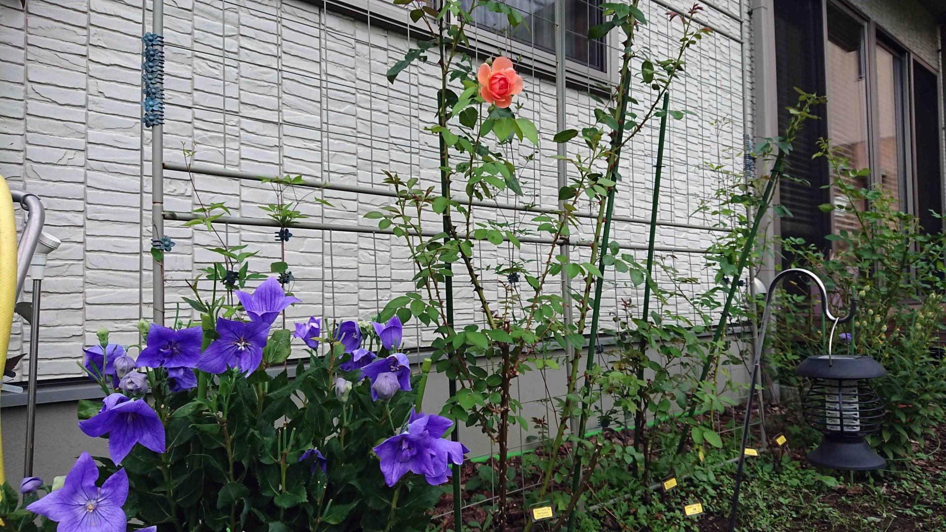 絞り咲きアポイキキョウ/ ER パットオースチン,2020年8月30日