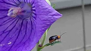 絞り咲きアポイキキョウにやってきたウリハムシ,2020年9月11日