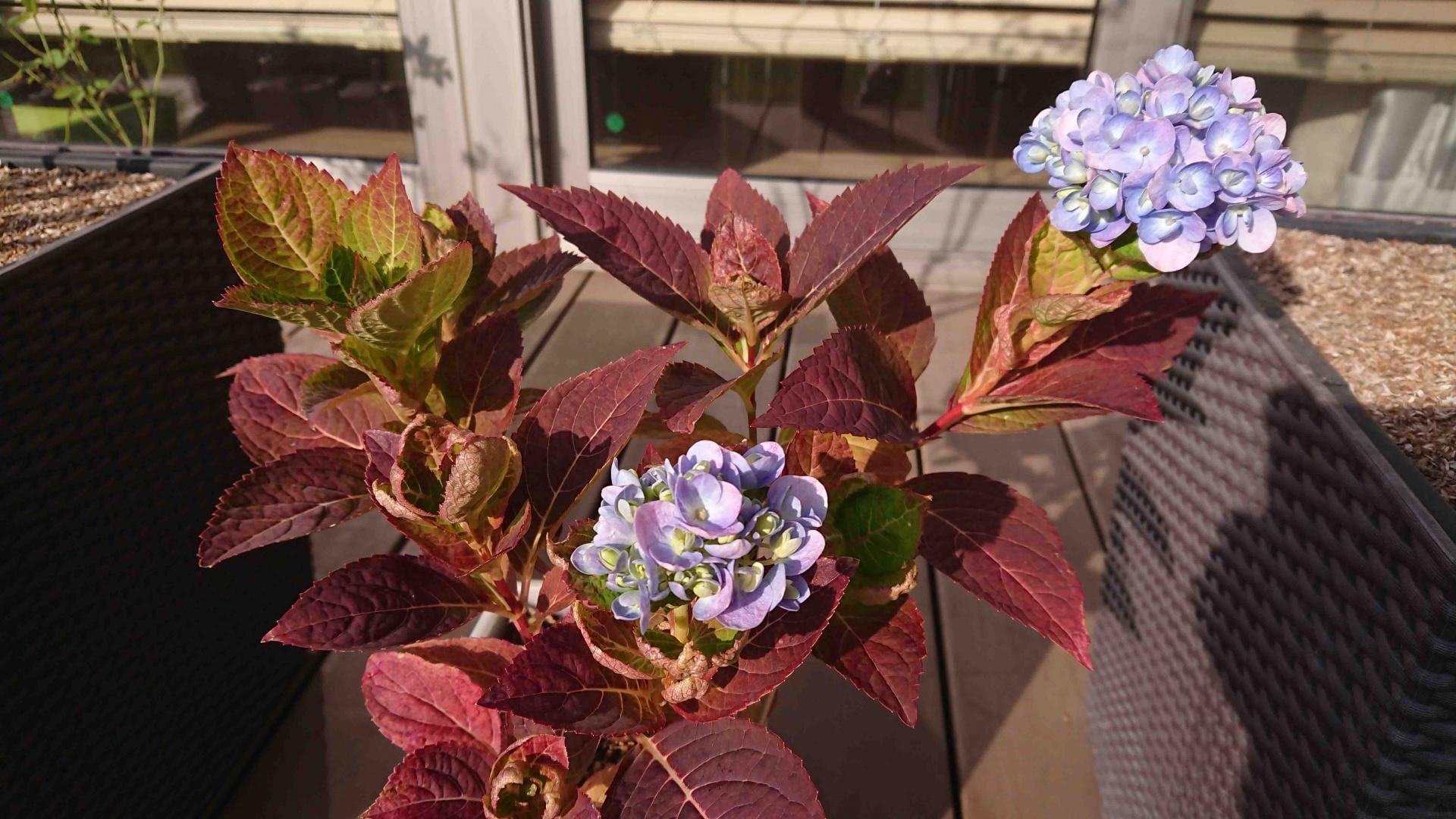 西洋紫陽花 エンドレスサマー二番花,2020年10月30日