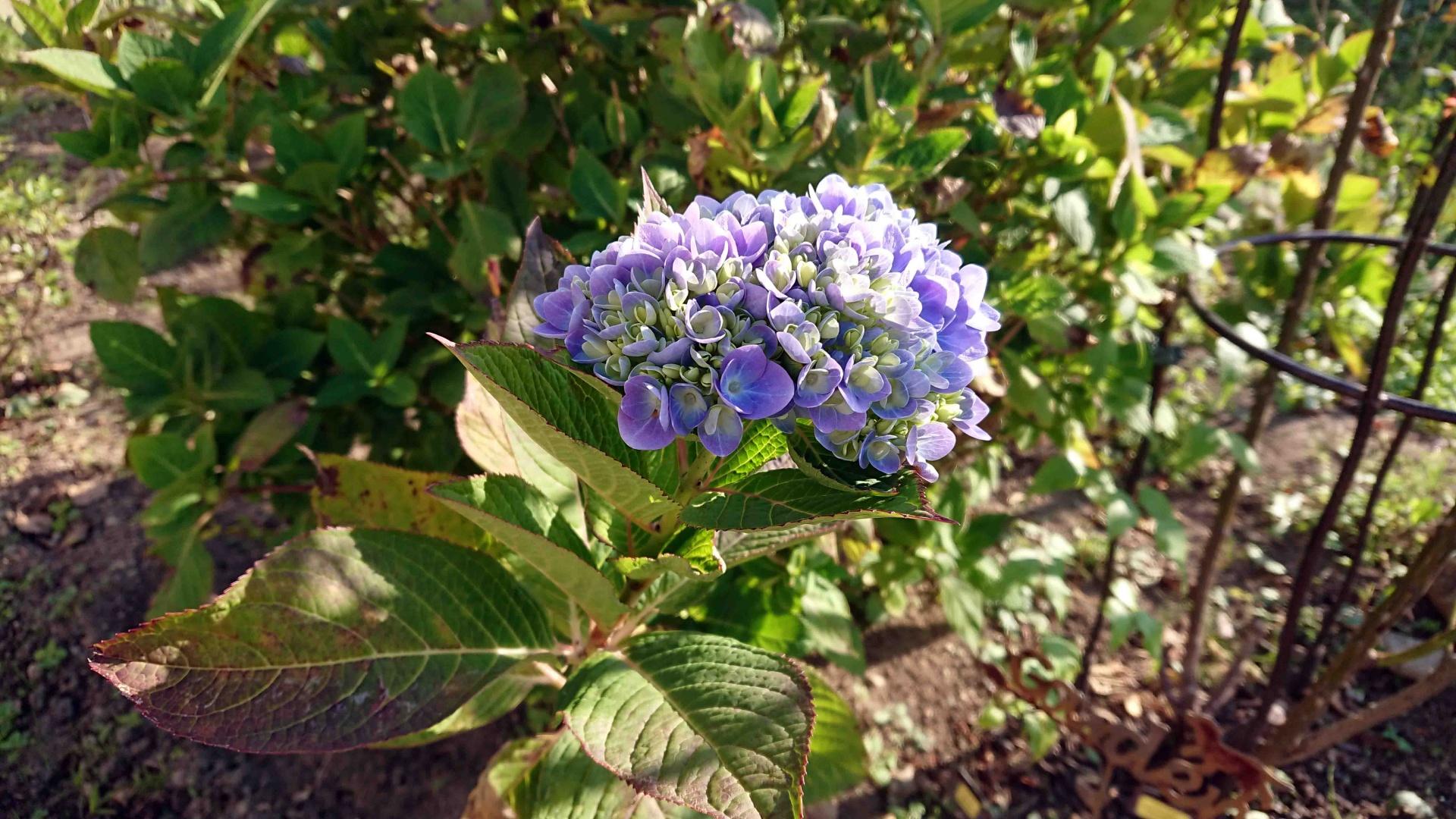 西洋紫陽花 エンドレスサマー三番花,2020年10月30日