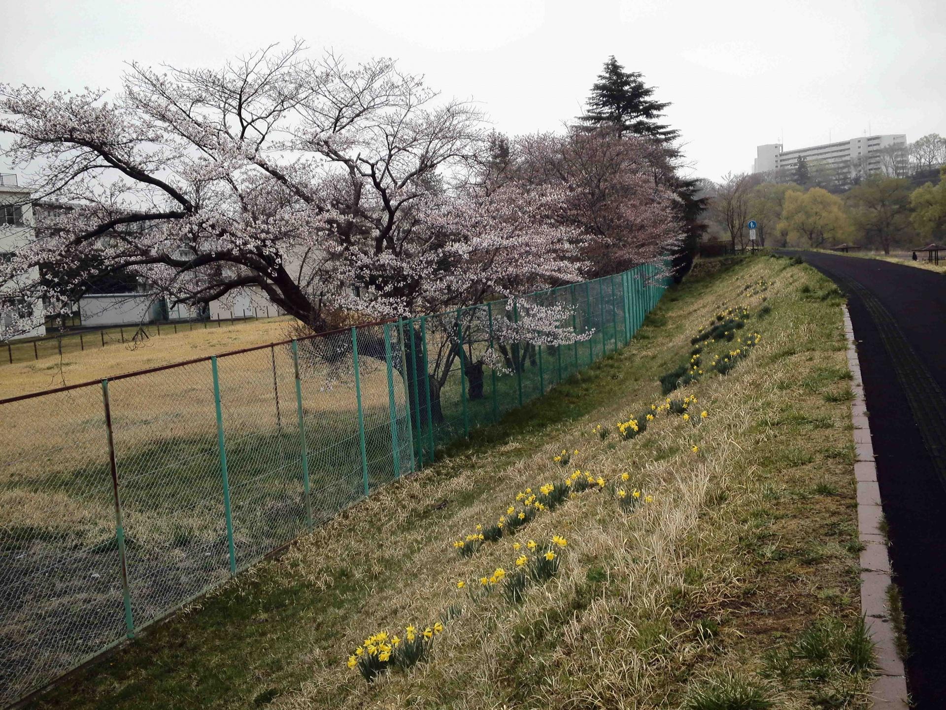 桜とラッパスイセン,2015年4月10日