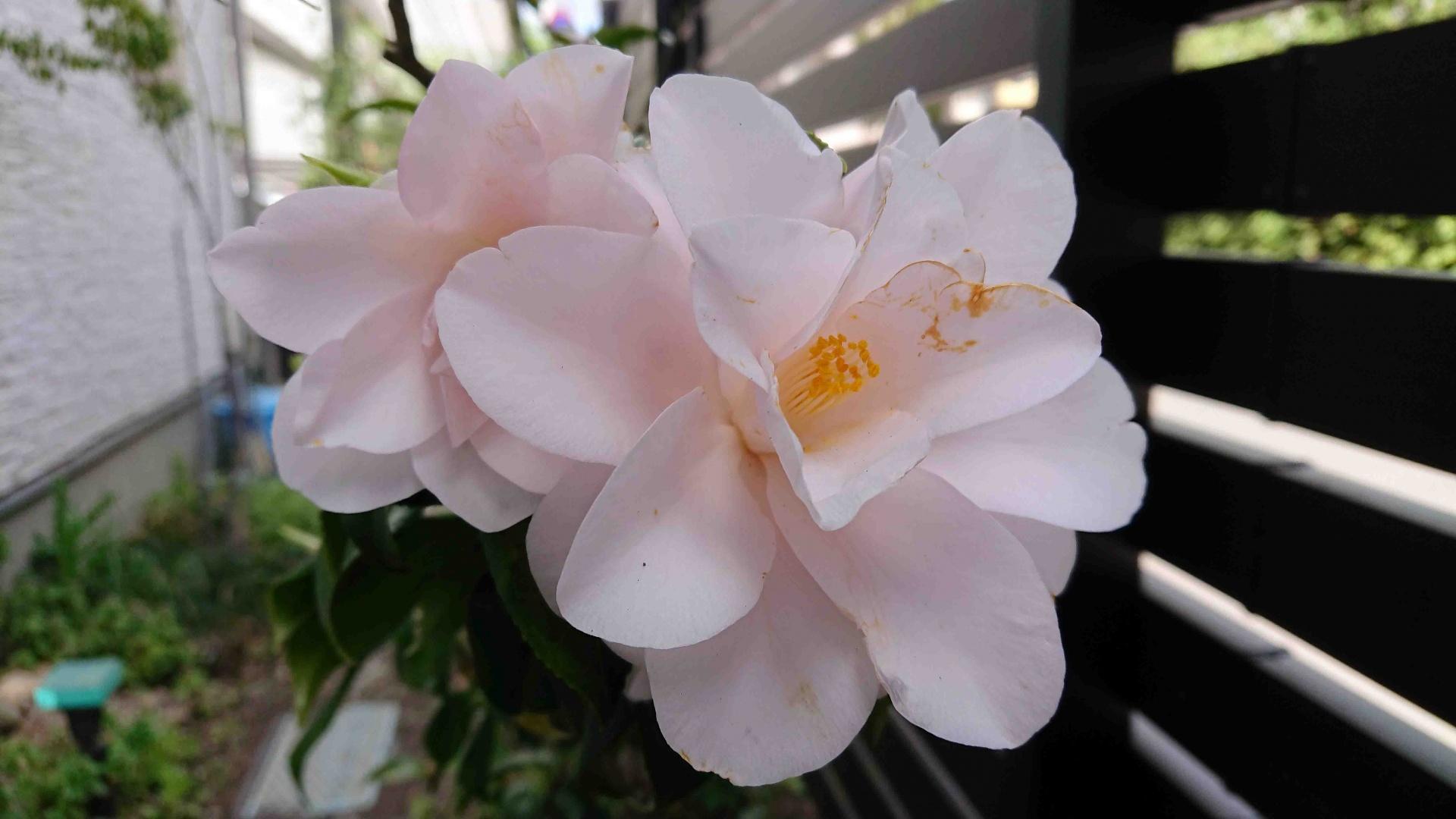 ツバキ・春曙紅,2021/04/30