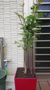 ぶどう山椒,2021/05/05
