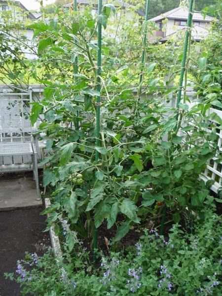 7月7日トマトとキャットミント