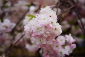 sakura_shougetu-05.jpg1