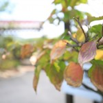 ヤマボウシの葉 葉焼け 8月18日