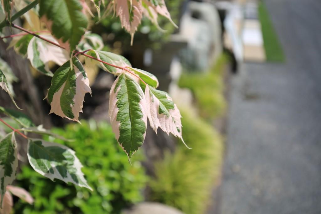 フラミンゴ楓-1