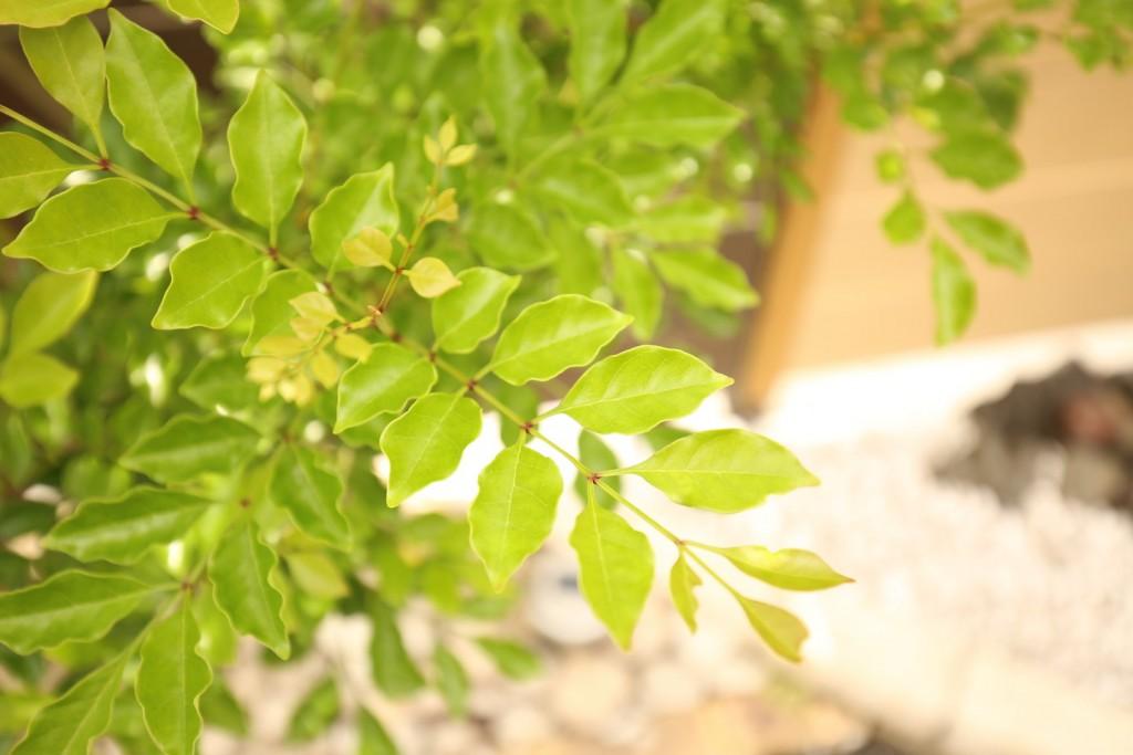 シマトネリコの葉-1