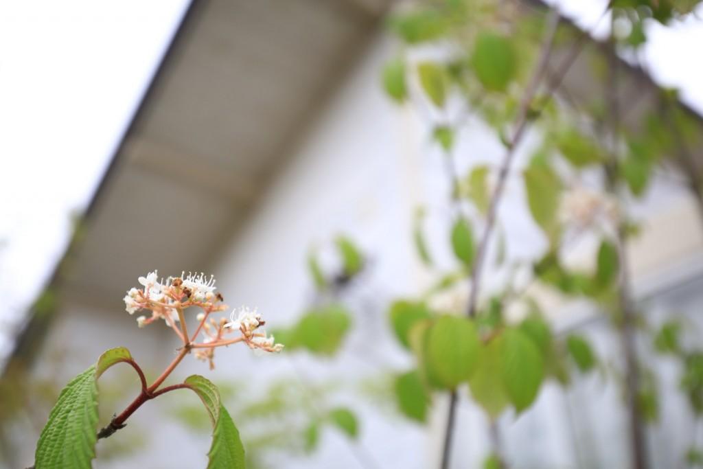ガマズミの花 0417