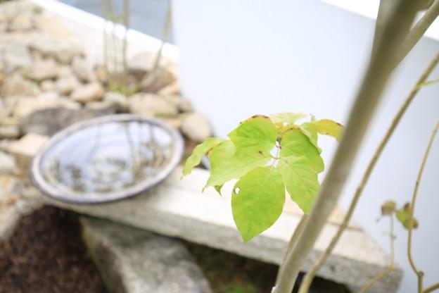 アオダモと水鉢