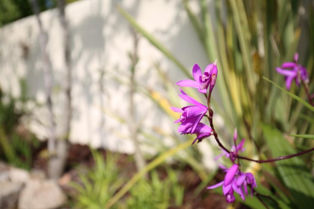 シランの花-1