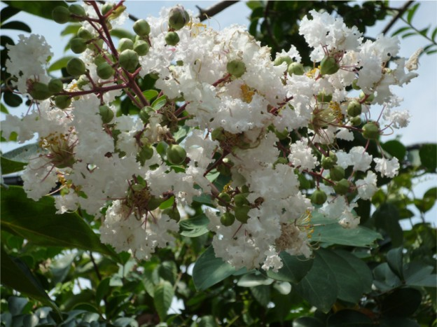 japanese bonsai sentei shioda