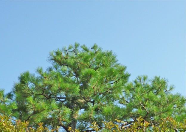 マツ剪定は広島代表の塩田剪庭園
